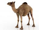 3D модель Верблюд одногорбый