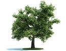 """Дерево """"Дуб"""" (Quercus)"""