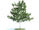 "3D модель Дерево ""Береза"" (Betula)"