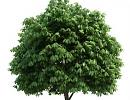 "3D модель Дерево ""Каштан"""