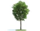 """3D модель Дерево """"Ясень"""" (Fraxinus)"""
